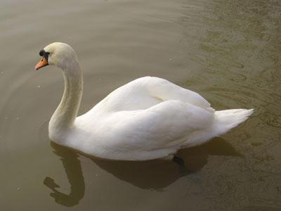 swan-pic