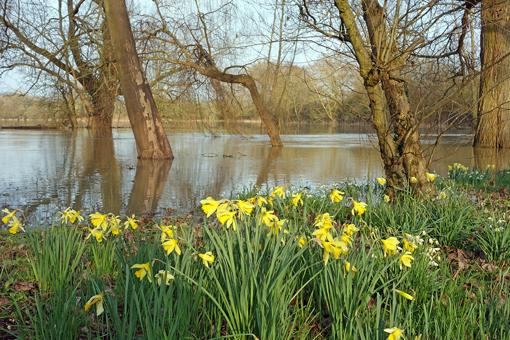 willow-tree-flood-winter-daffodil-2